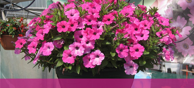 Hanging Baskets - Carndonagh Nursery and Garden Centre